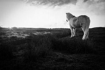 Wildes weißes Pferd Ameland weiße Schönheit mit Sonnenuntergang von Malou van Gorp