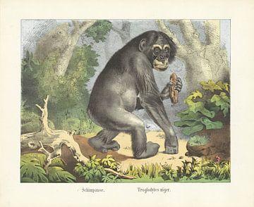 Chimpansee, Firma Joseph Scholz, 1829 - 1880