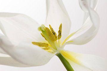 Weisse tulp von Yvon NL