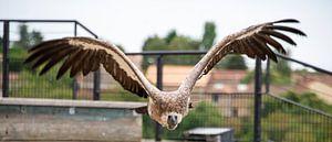 roofvogel van Bram de Muijnck