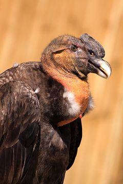 Anden-Kondor-Raubvogel von Bobsphotography