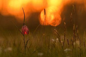 Kievitsbloem bij zonsondergang van