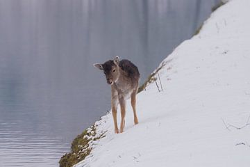 Jong Damhertje gaat drinken in het winterse landschap van Merijn Loch
