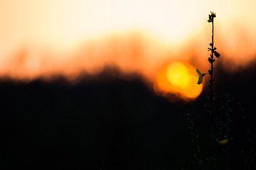 Untergehenden Blume von Onno van Kuik