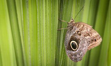 Vlinder van Dennis Graafland