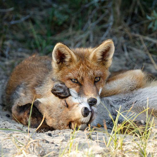 Twee jonge vosjes van Menno Schaefer