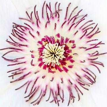 Clematisblüte van