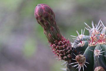 Kaktus wird blühen. von Silvia Weenink