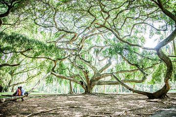 Ficus Benjamina Botanical Gardens Sri Lanka sur Ramona Stravers