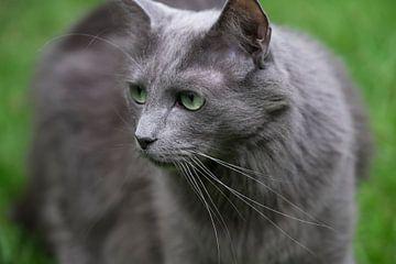 Nebelung-kat of Maine Coon met groene ogen die naar rechts kijk