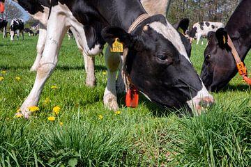 Grazende Holsteiner koe met paardenbloemen van Jan Sportel Photography