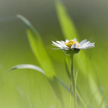 Dreaming daisy sur Anja Jooren
