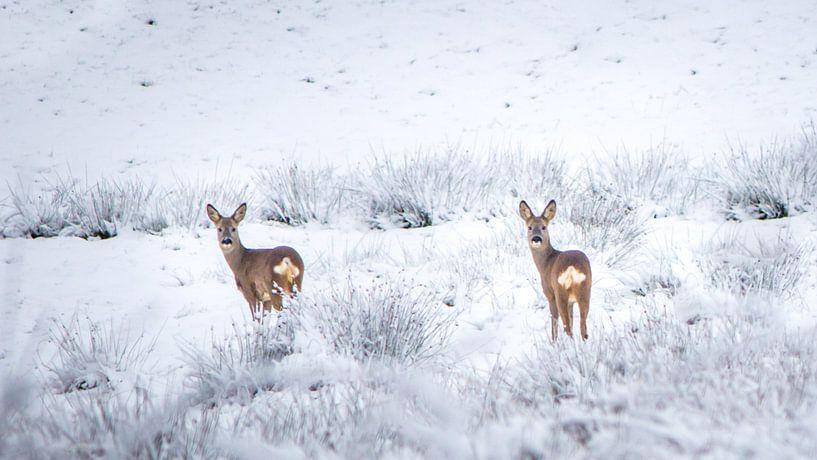Reeën in sneeuwlandschap van Martzen Fotografie