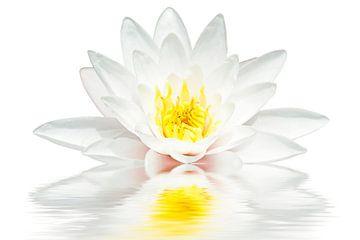 Witte lotus drijft in het water van