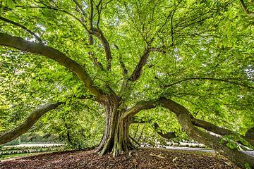 Oude kastanjeboom in de tuin van het Poptaslot in Friesland van Harrie Muis