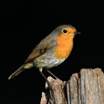 Robin ( Erithacus rubecula ) schijnt in het zonlicht op een hekpaal, wilde dieren, Europa. van wunderbare Erde