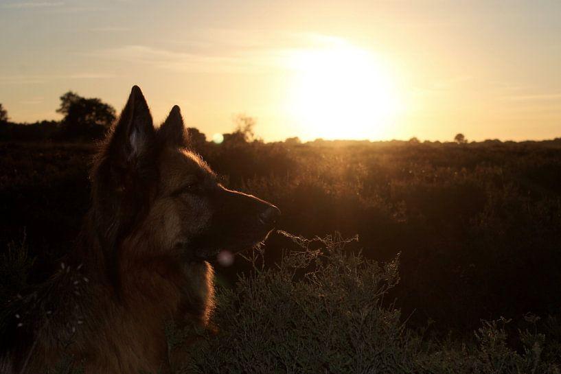 German Shepherd  von Anita Moek