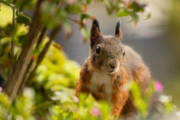 Eekhoorn - Fluff Love van Meleah Fotografie