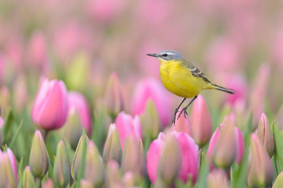 Gele Kwikstaart poseert op een tulp