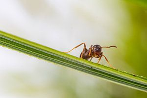 Mier op een grassprietje