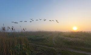 Overvliegende ganzen tijdens mistige ochtend van
