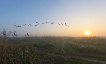 Overvliegende ganzen tijdens mistige ochtend sur