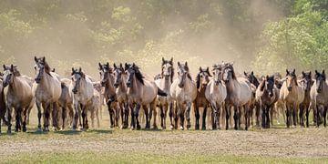 Herde aufmerksamer Dülmener Ponies von Katho Menden
