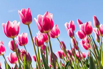 Tulpenfestival van