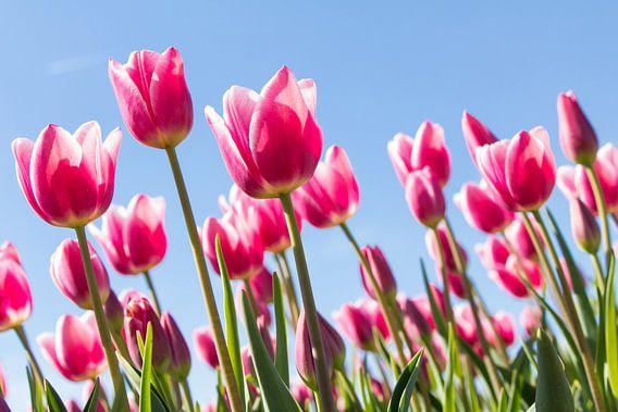 Tulpenfestival van Hilda Weges