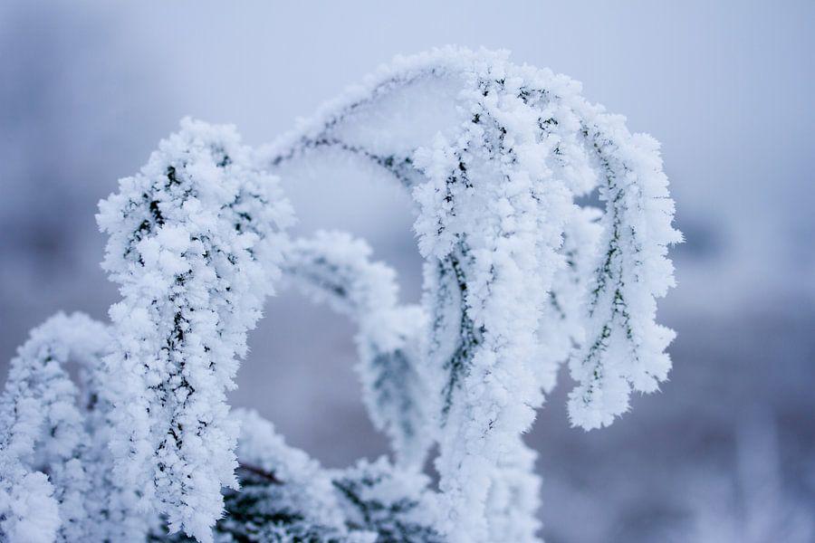 Winter in de natuur, plantes bedenkt onder een laagje sneeuw