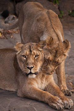 deux lionnes - petites amies. La lionne est un animal fort et beau, qui démontre des émotions. sur Michael Semenov