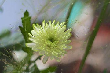 Astra / Herbstblume von Marianna Pobedimova