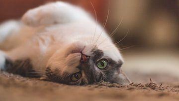 Guitige kat. van Simon Peeters