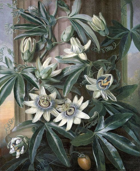 Die blaue Passionsblume, Philip Reinagle von Meesterlijcke Meesters