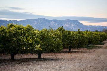 olijfbomen von marijke servaes
