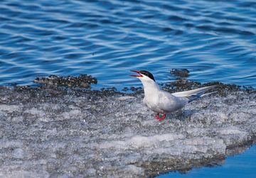 Rufende Nordseeschwalbe von Merijn Loch