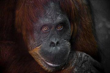 Slimme gezicht orang-oetang van dichtbij. Flegmatische licht ironische ogen kijken van Michael Semenov