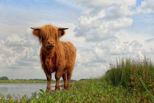 Schotse Hooglander aan de waterkant van