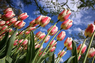 Tulpen, Nederland van Wilma Meurs