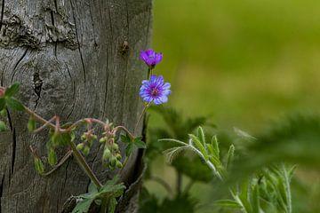 geranium, ooievaarsbek op de Veluwe bij Lunteren van Cilia Brandts