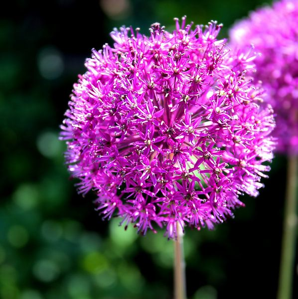 Paarse bloem  van Sigrid Klop