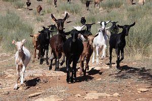 Happy goats van Jan Katuin