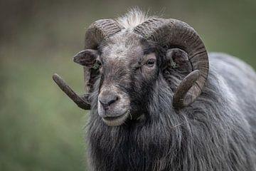 Schafe mit Hörnern im Winter in Farbe von ingrid schot