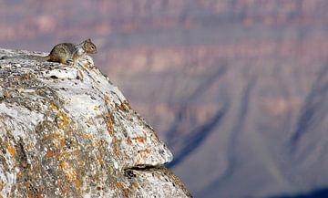 Een eekhoorn kijkt over de Grand Canyon. van