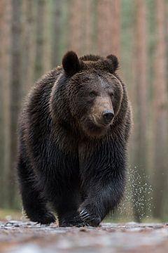kritische Blicke... Europäischer Braunbär *Ursus arctos* von wunderbare Erde