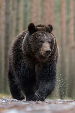 European Brown Bear *Ursus arctos* sur wunderbare Erde