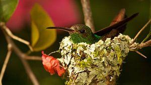 Kolibrie op nest