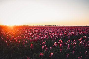 Die schönen Tulpenfelder von Nord-Holland in der Morgensonne von Tes Kuilboer