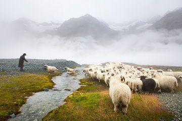 Schwarznase schapen Zermatt van Menno Boermans