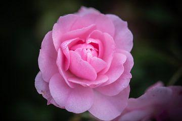 rose rose sur Tania Perneel
